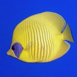 Red Sea Fish ID