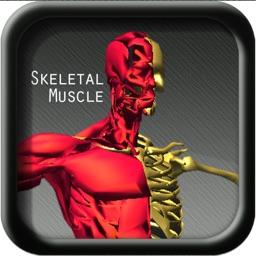 A study Anatomy Skeletal Muscle