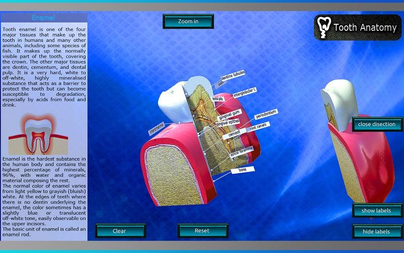 Tooth Anatomy скриншот программы 4