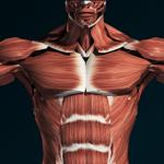 Мышечная система 3D (анатомия) на пк