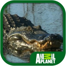 Animal Planet: Alligators