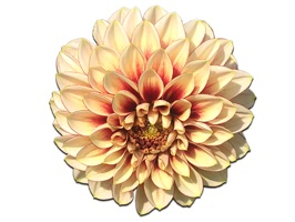 Dahlia Stickers for your sticker collection