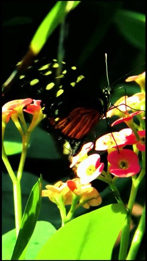 Butterfly Live Wallpaper Lite On The App Store