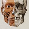 3D Anatomy for the Artist | v. 1.2