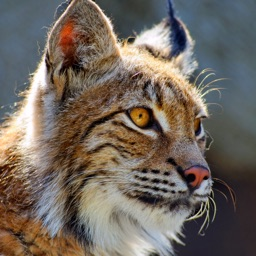 Bobcat Sounds!