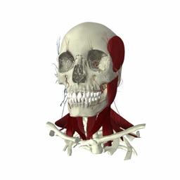 eHuman Head and Neck Anatomy