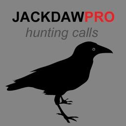 Jackdaw Calls for Hunting - HD