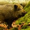 Wild Boar Sounds!
