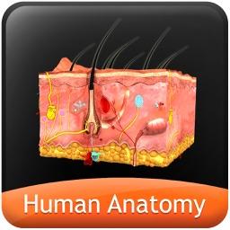 Human Anatomy Explorer - Integumentary System