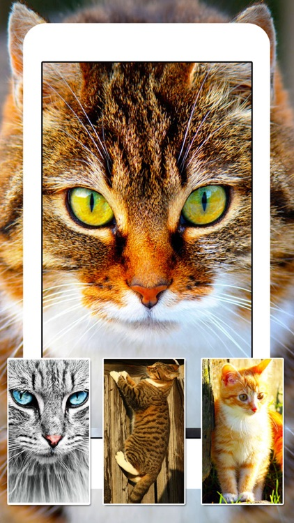 Cats & Kittens Wallpapers - Cute Animal Backgrounds and Cat Images screenshot-4