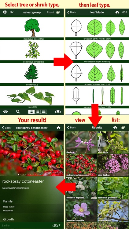 Tree Id USA - identify over 1000 of America's native species of Trees, Shrubs and Bushes