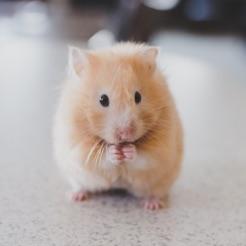Hammy Hamsters