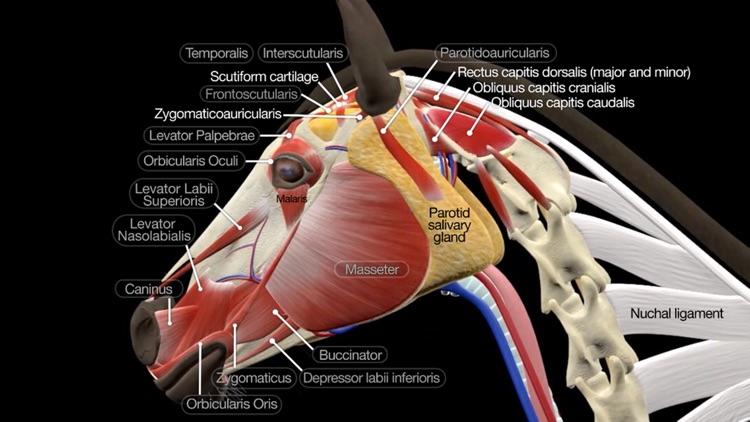 Horse Anatomy: Equine 3D screenshot-0