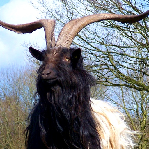 Goat Breeds: Various Types of Goat
