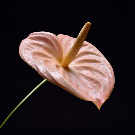 Anthurium Wallpapers HD: Quotes Backgrounds with Art Pictures