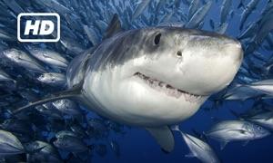 HD Sharks TV