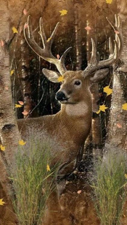 Deer Wallpapers Animal