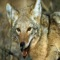 The coyote is a canid native to North America
