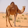 Camel Sounds - From the Hot Desert to Your Device, Ringtones, Alarms and More