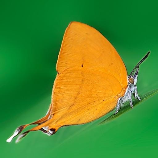 Butterflies of Singapore (NSS)