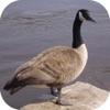 Goose Hunting Calls!