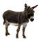 The donkey or ass, Equus africanus asinus, is a domesticated member of the horse family, Equidae