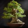 Bonsai Basics - Learn All About Growing Bonsai Trees