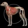 イヌの解剖学 - Dog Anatomy 3d