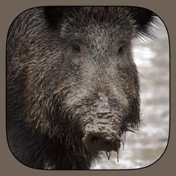 Wild Hog Sound Effects Including Calls, Grunts, Snorts and More PLUS Bonus Wallpapers