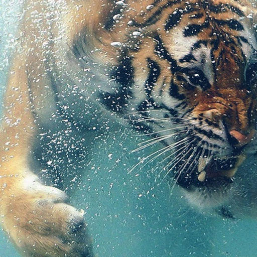Best HD Tiger Art Wallpapers for iOS 8 Backgrounds: Wild Animal Theme Pictures Collection icon