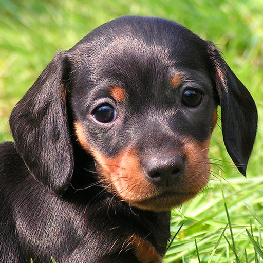 Little Dachshund Dogs - Slideshow & Wallpapers HD