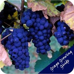 Grape Growing Guide