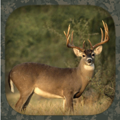 Whitetail Hunting Calls app review
