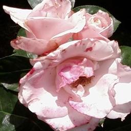 White Rose Gregorek